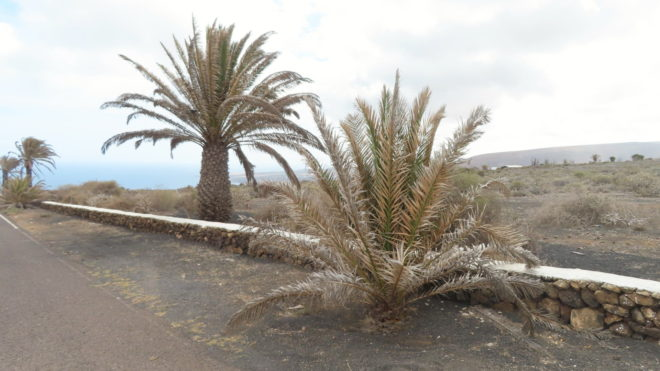 Umírající palmy